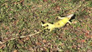 Игуаны замерзают и падают с деревьев во Флориде