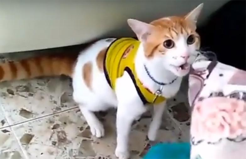 """Футбольная лихорадка: кот-болельщик кричит """"гол"""" (видео)"""