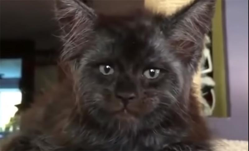 Он словно заглядывает в душу: кот с человеческим лицом напугал пользователей Сети (видео)