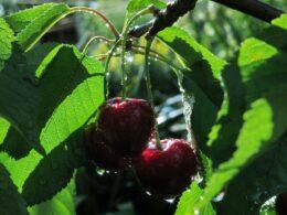 черешня, ягоды