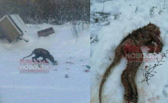 Чупакабра или гигантская мышь? В Воронежской области убили существо, которое губило домашнюю птицу и скот
