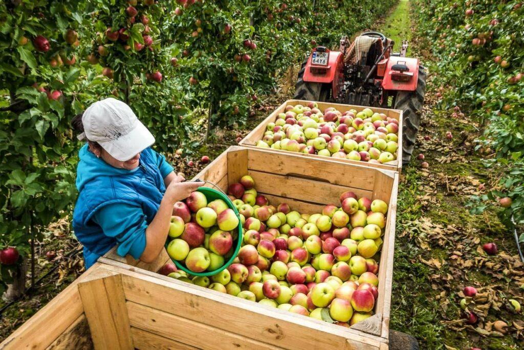 Как правильно есть яблоки: 97% людей не знают эту хитрость