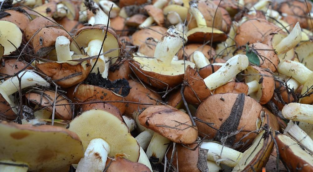 Почему наши предки никогда не ели маслята и опята
